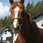 Unser Pferd Nicky